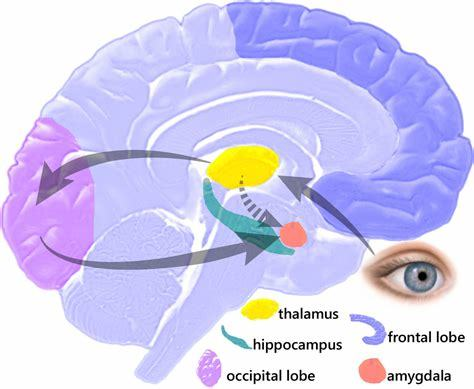 What happens when the amygdala is not working properly