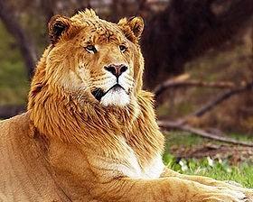 Wie nennt man die Kreuzung zwischen Löwe und Tiger