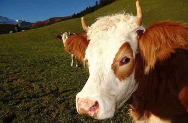 Ya inekler sağdığımız sütleri helal etmiyorlarsa