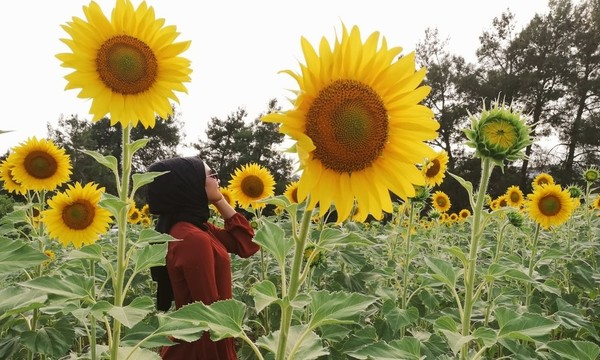 Sen ayçiçeklerinin yüzünü döndüğü güneş