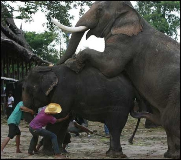 Elefant Kuk