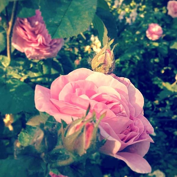 Розы или пионы