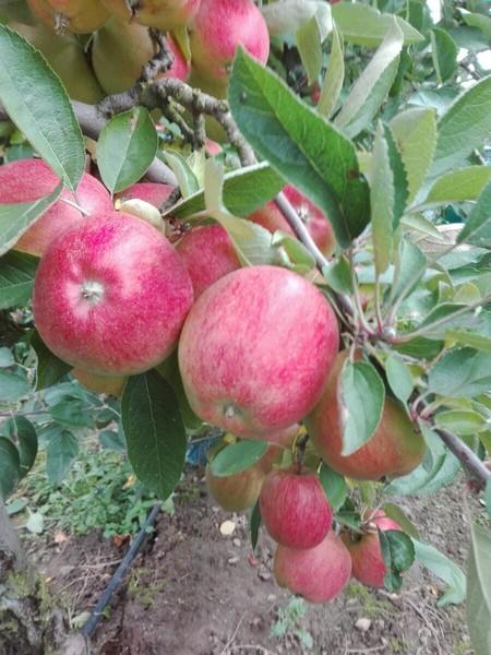 Moja wakacajna praca to przede wszystkim przy jabłuszkach