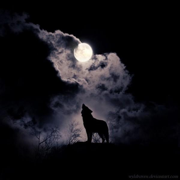 кд  волк