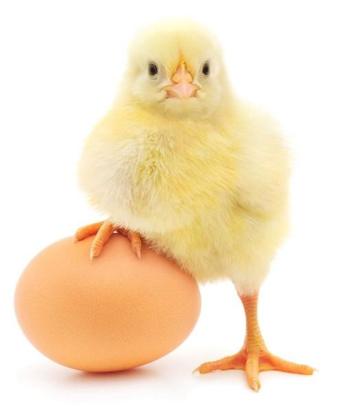 Что было раньше  яйцо или курица