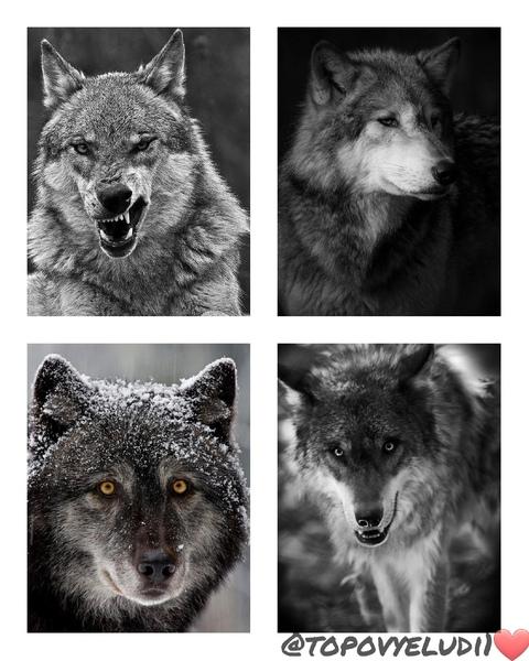 Пиарсундук для MazenukeaTrekaila на тему  волки