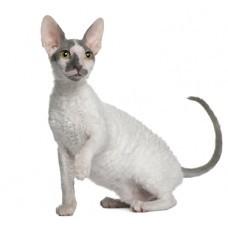 Как ты считаешь  Какие породы кошек самые добрые