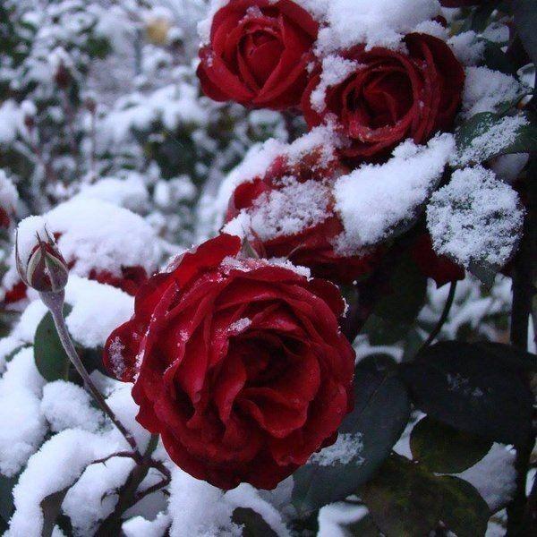 кд  ваши любимые розы